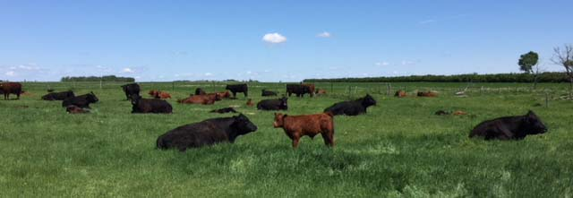 cattles on pasture