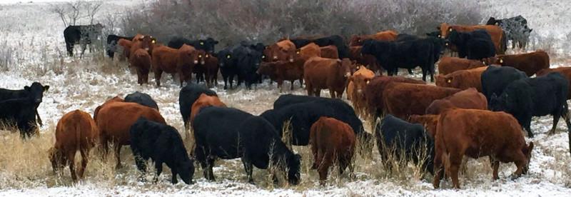 cows_winter